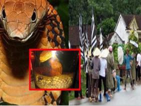 Sự trả thù khủng khiếp của rắn độc khổng lồ ở An Giang