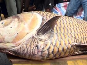 Ngư dân miền Tây bắt cá hô khổng lồ, bán hơn 300 triệu