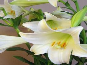 Chữa mất ngủ bằng hoa