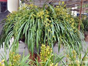 Địa lan Sa pa – Loài hoa giúp nông dân làm giàu