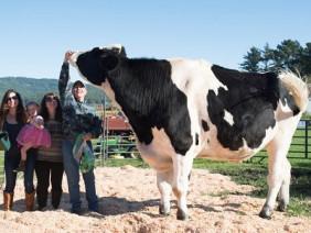 Gặp chú bò khổng lồ 1,9m, cao nhất thế giới