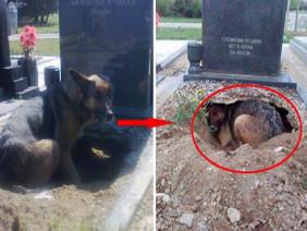 Chó đào hố, nằm canh mộ chủ mãi không rời, sự thật khiến nhiều người xúc động