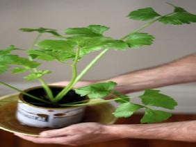 """Những loại cây giúp chị em khỏi đau bụng trong ngày """"đèn đỏ"""""""