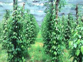 Bà con nông dân đổi mới trong trồng tiêu: Tiêu theo hướng hữu cơ - hiệu quả cao