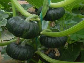 Kỹ thuật trồng bí đỏ Nhật tại nhà cho năng suất cao