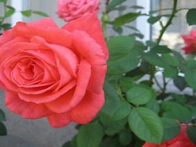 Bí quyết đơn giản để trồng hoa hồng tỉ muội ra hoa quanh năm