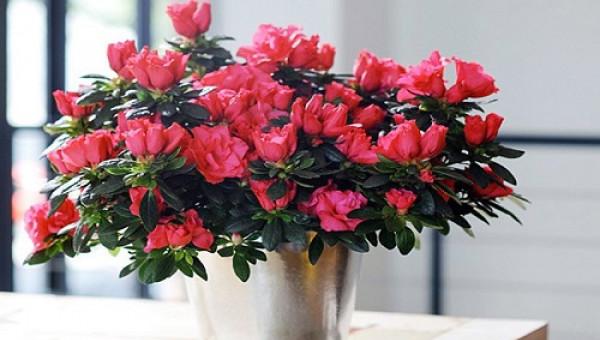 Bật mí cách trồng hoa đỗ quyên khoe sắc đúng dịp Tết
