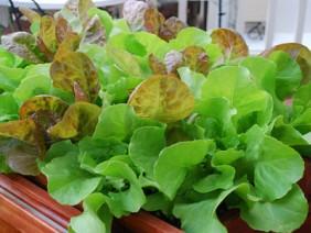 Học cách trồng rau xà lách đơn giản tại nhà phục vụ rau sạch ngày Tết