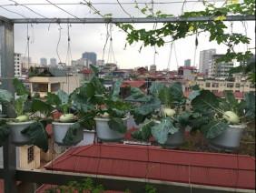 Vườn treo su hào lủng lẳng trên nóc tầng 7, ai đi ngang cũng nhìn phát ham