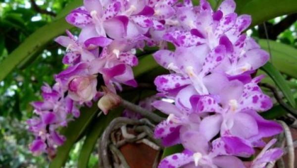 Mãn nhãn với những loài hoa lan chơi Tết cực sang chảnh