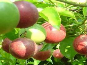 Loại trái cây được gọi là vua hoa quả, có 17 loại axit amin, ở Việt Nam có rất nhiều