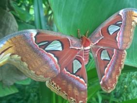 """Giật mình hàng chục con bướm """"khủng"""" bất ngờ xuất hiện ở Bạc Liêu"""