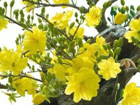 Chăm sóc hoa mai, đợi ngày Tết về