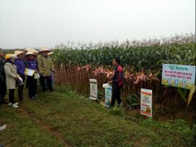 Hiệu quả từ mô hình trồng ngô vụ đông sử dụng phân bón Tiến Nông