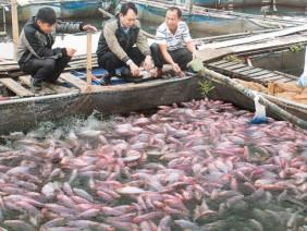 Nông dân làm giàu từ mô hình nuôi cá lồng trên sông
