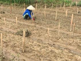 Ảnh: Nông dân xót xa mót rau, dọn ruộng trên cánh đồng nát bấy sau lũ