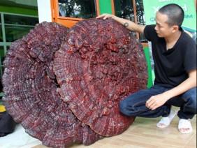 """Tận mục nấm linh chi """"khủng"""" to bằng cái ô, nặng 6kg mỗi cây"""