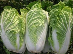 Cách trồng cây cải thảo tại nhà cho rau sạch quanh năm