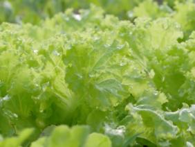 Mô hình trồng rau xà lách quanh năm ở Miền Bắc