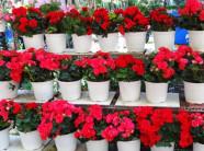 Đón Tết xuân cùng vườn hoa hải đường
