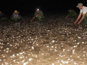 Ngao chết hàng loạt do chất thải đổ ra bãi nuôi vượt ngưỡng