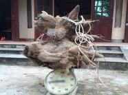 Xôn xao củ khoai vạc rồng 'khủng' nặng 73kg ở Nghệ An