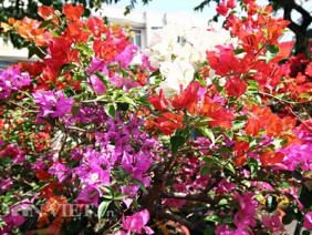Hoa giấy 6 màu độc lạ