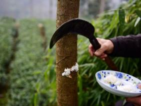 """Dân làng Trung Quốc cho cây ăn cơm để """"chóng lớn"""""""