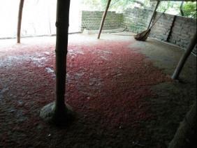 Vụ 900 con vịt chết đột ngột: Bao thóc có gì bất thường?