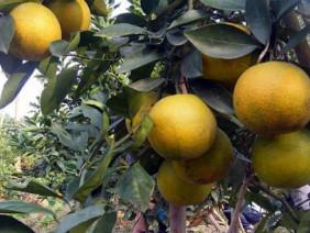 Cam Xã Đoài mang về hơn 7 tỷ đồng cho nông dân Nghi Diên dịp Tết
