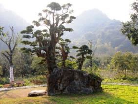 """Độc nhất vô nhị cây duối nghìn năm có dáng """"bàn tay phật"""" ở Ninh Bình"""