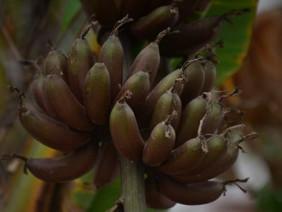 """Chiêm ngưỡng cây chuối ra quả màu tím """"độc nhất vô nhị"""" ở Hà Nội"""