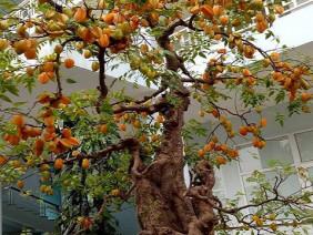 Sửng sốt với cặp khế bonsai ra quả từ gốc tới đỉnh ngọn