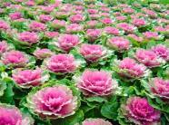 Mồng 8.3, trồng cải hoa hồng tặng người phụ nữ mình yêu