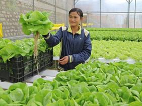 Kiếm tiền tỉ từ những vườn rau trên không ở Lâm Đồng