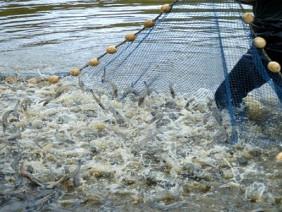 Cách nuôi tôm lãi 3 tỷ đồng/ha dễ như trở bàn tay