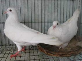 Anh nông dân 8x làm giàu nhờ nuôi chim bồ câu Pháp