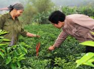 Bắc Ninh: Trồng ớt chỉ thiên lãi đến 8 triệu đồng/sào