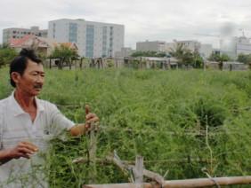 """Trồng cây tiền tỷ: Khó tin măng tây xanh... xanh giữa vùng """"sa mạc"""""""