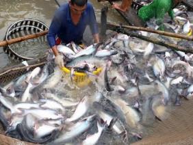 90% cá tra bán tại Mỹ được nhập từ Việt Nam
