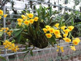 Trồng cây tiền tỷ: Vợ chồng 7x vừa ngắm hoa lan vừa