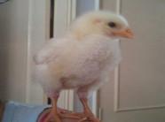 Chơi trội nuôi gà làm pet, thiếu nữ khiếp vía chỉ sau vài tháng ngắn ngủi chỉ vì…