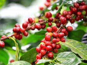 Nhà buôn châu Âu chật vật tìm cà phê sạch