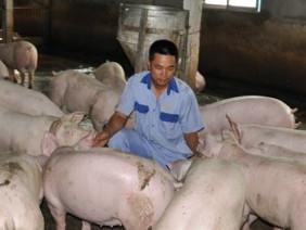 Giá lợn 16.000 đồng/kg: Những tiếng cầu cứu tuyệt vọng từ nông dân