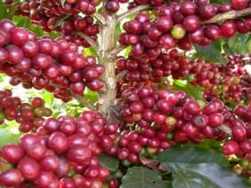 Giá nông sản 26.5: Nhà buôn hoang mang trước giá cà phê, hồ tiêu