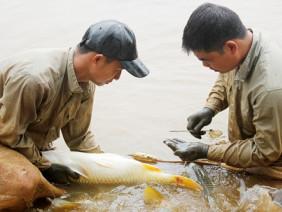 Chép lai Việt Nam-Trung Quốc: đẹp mã, thịt ngon, giá bán cao