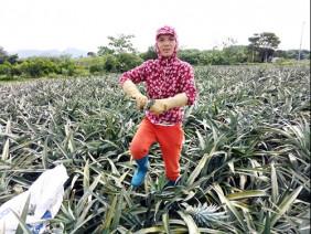Thanh Hóa: Thương lái Trung Quốc ồ ạt mua dứa xanh bất thường