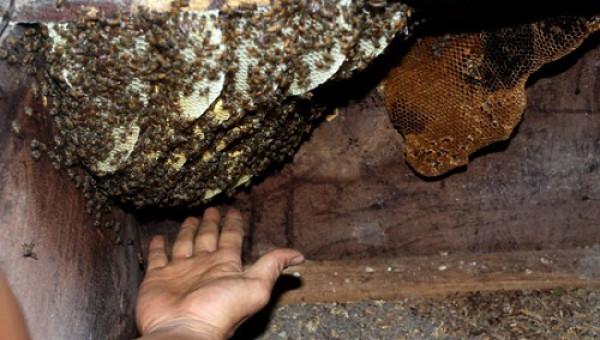Lạ kỳ: Ong rừng về làm tổ trong tủ quần áo, loa thùng, tủ tivi nhà dân