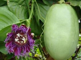 """Loài cây trồng cực dễ: Khó là dùng tay """"se duyên"""" mới đậu quả mọng"""