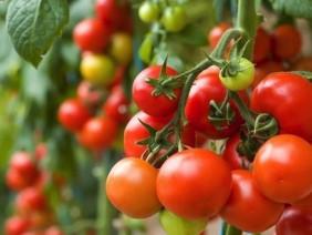 Vựa cà chua tiền tỷ lớn nhất Mộc Châu năng suất cỡ nào?